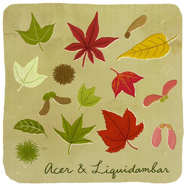 中時插圖 楓、楓香與槭