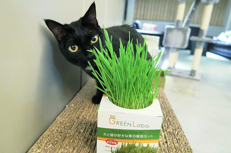 Green Labo DIY貓草沙拉初體驗